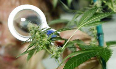 Medyczna marihuana dopuszczona do obrotu w Niemczech