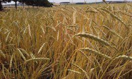 Orkisz – alternatywa dla pszenicy
