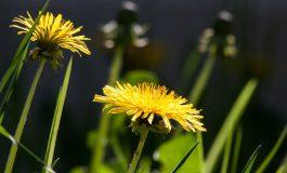 Mniszek lekarski – łatwo dostępne zioło, które posiada wiele właściwości zdrowotnych