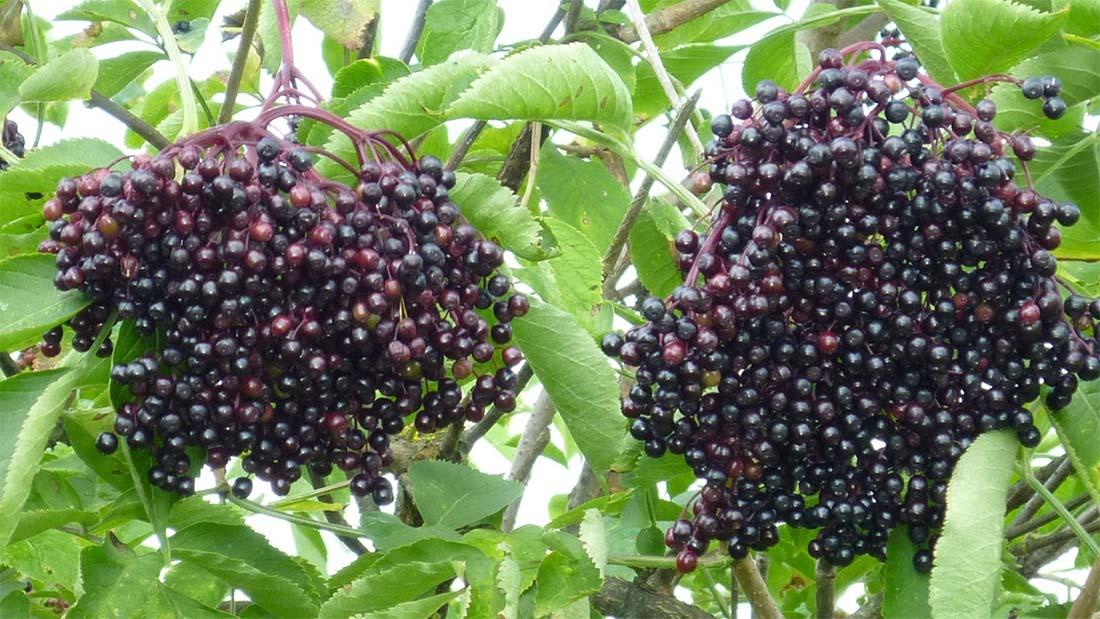 Czarny bez nie tylko na przeziębienie – sprawdź jego właściwości