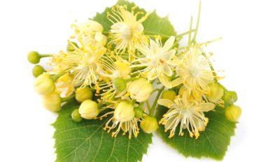 Właściwości lecznicze kwiatu lipy