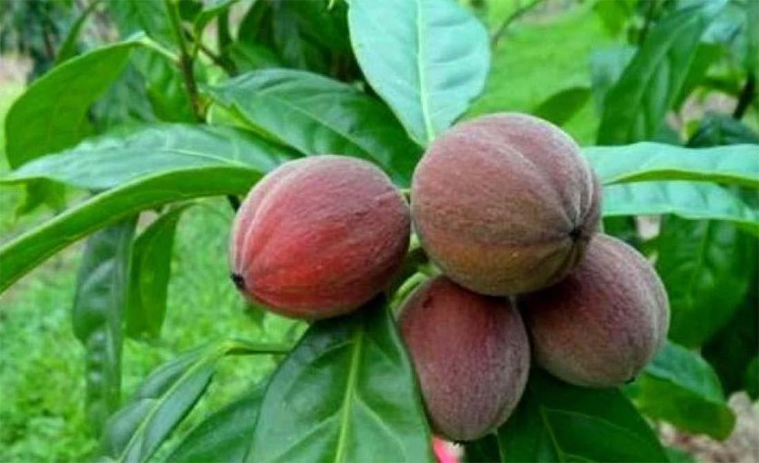 Przełomowe odkrycie naukowców – australijskie jagody niszczą komórki nowotworowe!