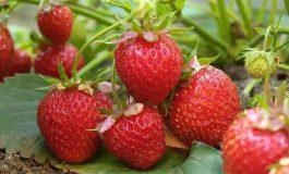 10 powodów, dla których warto jeść truskawki
