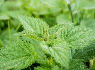 Pokrzywa - silne zioło o wielu zastosowaniach