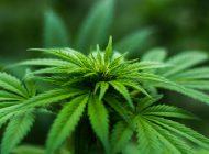 Olej kokosowy i medyczna marihuana – lecznicze połączenie