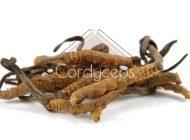 Cordyceps - na witalność, energię i wytrzymałość